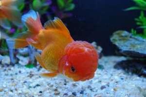 学会养殖金鱼三大换水方法