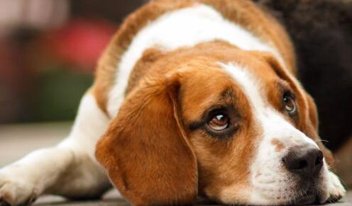 比格犬的训练方法是什么?训练它成功的因素有哪些?
